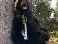 l-auberge-rouge-costume-d-ours-avec-tete-telecommandee